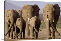 African Elephant herd with calves, Amboseli National Park, Kenya