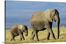 African Elephant (Loxodonta africana) mother leading calf, Kenya