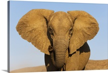 African Elephant (Loxodonta africana), Skeleton Coast, Namib Desert, Namibia