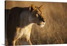 African Lion female stalking, Moremi Game Reserve, Okavango Delta, Botswana
