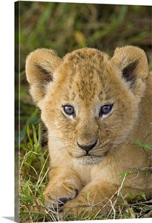 African Lion five week old cub