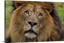 African Lion male, native to Africa