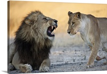 African Lion male roaring at female, Moremi Game Reserve, Okavango Delta, Botswana