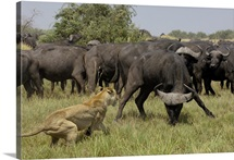 African Lion (Panthera leo) fending off Cape Buffalo (Syncerus caffer), Africa
