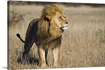 African Lion (Panthera leo) male, Khutse Game Reserve, Botswana