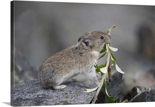American Pika (Ochotona princeps) carrying vegetation in mouth, Yukon, Canada