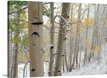 Aspens (Populus tremuloides) with snow, Gunnison National Forest, Colorado