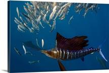 Atlantic Sailfish Feeding