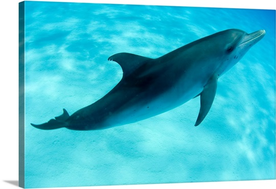 Atlantic Spotted Dolphin Swimming Photo Canvas Print
