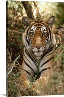Bengal Tiger portrait, Ranthambore National Park, India