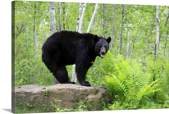 Black Bear (Ursus americanus) adult, standing on rock in woodland, Minnesota