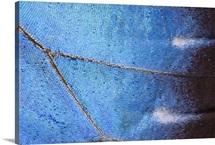 Blue Morpho (Morpho peleides) butterfly wing, Costa Rica