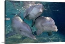 Bottlenose Dolphin trio underwater, Waikoloa Hyatt, Hawaii