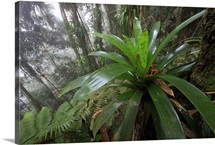 Bromeliad and tree fern at 1600 meters altitude in tropical rainforest, Colombia