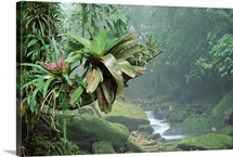 Bromeliads growing along stream in Bocaina National Park Atlantic Forest Brazil