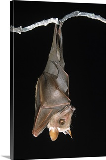 Buettikofer's Epauletted Bat hanging upside down from roost