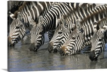 Burchell''s Zebra (Equus burchellii) group drinking, Africa