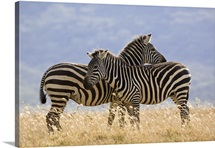Burchell''s Zebra pair, Lake Nakuru National Park, Kenya