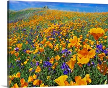 California Poppy and Desert Bluebell flowers, Antelope Valley, California