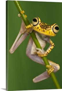 Chachi Tree Frog (Hypsiboas picturatus), northwest Ecuador