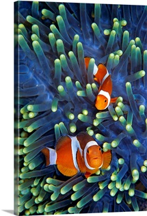 Clown Anemonefish (Amphiprion ocellaris) pair in sea anemone tentacles