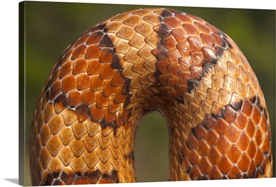 Cornsnake (Elaphe guttata) scale pattern, southeastern and central United States