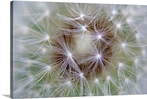 Dandelion (Taraxacum officinale) seed head showing achenes, Bavaria, Germany