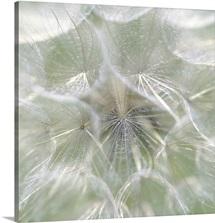 Dandelion (Taraxacum officinale) Seedhead