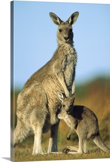 Eastern Grey Kangaroo joey reaching into mother's pouch