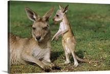 Eastern Grey Kangaroo (Macropus giganteus) mother with joey, Australia