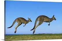 Eastern Grey Kangaroo two adults hopping, Murramarang National Park