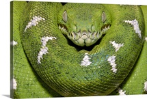 Emerald Tree Boa, Amazon, Ecuador