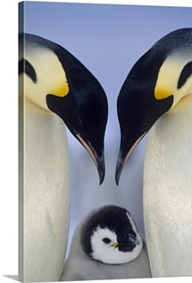 Emperor Penguin (Aptenodytes forsteri) parents greeting chick