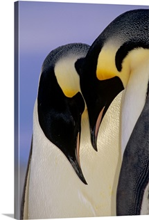 Emperor Penguincourting pair, Atka Bay, Weddell Sea, Antarctica