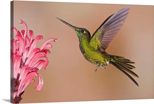 Empress Brilliant Hummingbird Feeding On Flower Nectar