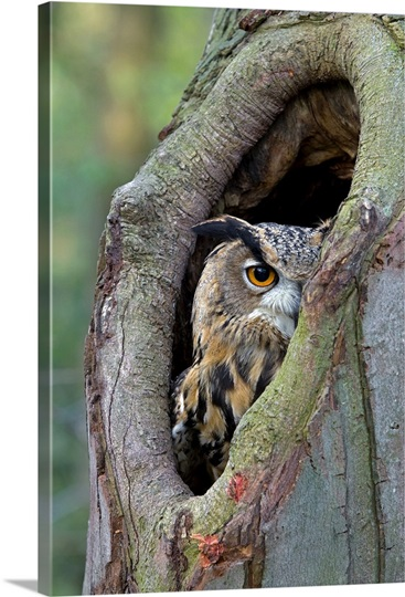 Eurasian Eagle Owl Looking Out From A Tree Cavity