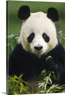 Giant Panda (Ailuropoda melanoleuca) eating bamboo, China