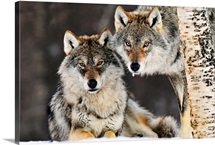Gray wolf canis lupus pair in the snow norway