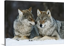 Gray Wolf (Canis lupus) pair in the snow, Norway.