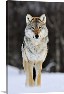 Gray Wolf (Canis lupus) standing in the snow, Norway
