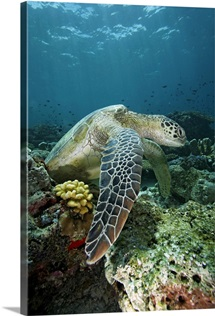 Green Sea Turtle on coral reef, Sipadan Island, Celebes Sea, Borneo