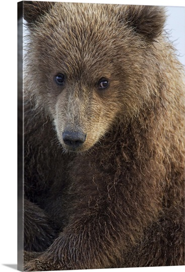 Grizzly Bear Photo Canvas Print | Great Big Canvas