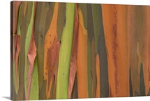 Gum Tree (Eucalyptus sp) bark detail, Costa Rica