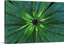 Herb Paris (Paris quadrifolia) close up, medicinal plant