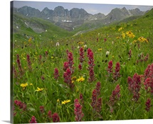 Indian Paintbrush meadow at American Basin, Colorado