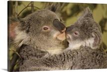 Koala (Phascolarctos cinereus) mother with joey, eastern temperate Australia