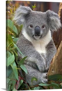 Koala (Phascolarctos cinereus), native to Australia