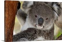 Koala (Phastolarctos cinereus), Victoria, Australia