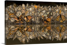 Monarch butterflies gathering to drink water and take up minerals, Michoacan, Mexico