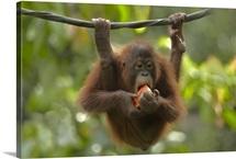 Orangutan (Pongo pygmaeus) young eating fruit, Sabah, Borneo, Malaysia